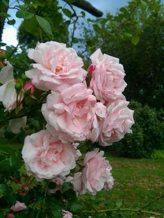 Garden pink roses