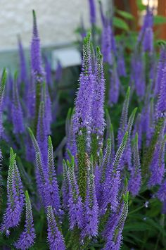 Click to view full-size photo of Sunny Border Blue Speedwell (Veronica 'Sunny Border Blue') at Flowerland