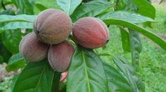 Nouvelle découverte incroyable! Ce fruit détruit le cancer en quelques minutes ! | Vivons mieux