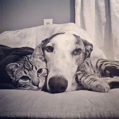 I mean really, just look at them!   Borys The Bengal Cat And Walter The Greyhound Are The Cutest Best Friends Ever
