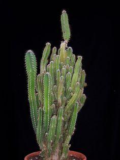 Acanthocereus tetragonus - Fairy Castle Cactus - Cactaceae