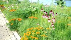 Butterfly weed & pale purple cone flower & side oats gamma at the top of a terraced hillside overlooking the Fox River at the Geneva Riverwalk