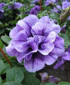 Double Petunia | double petunia | A Flower ⊱╮ Petunia, Calibrachoa: 'Million ...