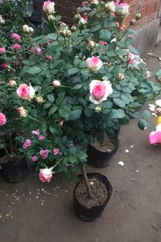 Learn about the dream rose pots 🌹🌹 – diy garden landscaping Fruit Garden, Flowers Garden, Garden Plants, Comment Planter Des Roses, Grafting Plants, Design Jardin, Rose Trees, Vegetable Garden Design, Rose Garden Design