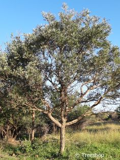 10 trees for small gardens in South Africa Small Garden Images, Plants For Small Gardens, Garden Ideas South Africa, Dragon Tree, 10 Tree, Sandy Soil, Water Wise, Shade Trees, Trees To Plant