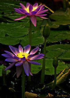 \u272f Lotus .. by Reg Ramai\u272f