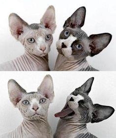 gatos sin pelo O gato Sphynx não é totalmente sem pêlo, mas tem uma cobertura de pêssego, que é suave e quente ao toque. Descubra mais sobre o gato Sphynx aqui.