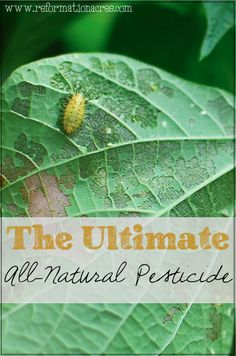 The ULTIMATE All-Natural Farm  Garden Pesticide- You won't want to overlook this untapped resource on your homestead!!