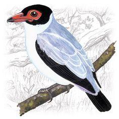 Anambé Branco de Rabo Preto (Tityra cayana)