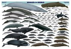 Size comparison poster of killer whale to other whales and dolphins