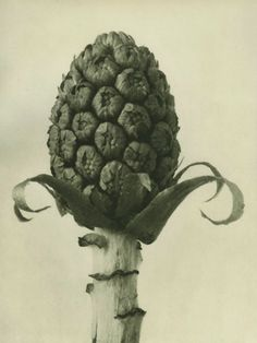 Karl BlossfeldtPlate # 60: Petasites officinalis (magnified 5 times) Photogravure, printed in 1928