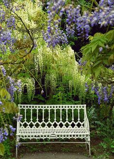 Wisteria with an iron bench