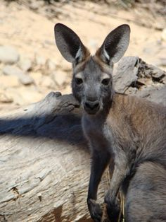 Female Red Kangaroo...Coby and Michael Dahlem photos of Australian animals
