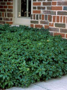Dense evergreen groundcover, even under pine trees.