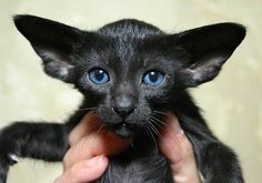 Black Oriental Shorthair with large ears and blue eyes I Love Cats, Crazy Cats, Cute Cats, Warrior Cats, Kittens Cutest, Cats And Kittens, Oriental Cat Breeds, Most Popular Cat Breeds, Oriental Shorthair Cats