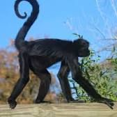 """Black-headed Spider Monkey (Ateles fusciceps).   (""""Image result for Black-headed spider monkey."""")     Google search: """"The Black-headed Spider Monkey (Scientific name:Ateles fusciceps) is a species of Spider Monkey, a type of New World Monkey, from Central & South America. It is found in Colombia, Nicaragua, & Panama.Wikipedia."""""""