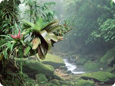 Bromeliads, Bocaina National Park, Atlantic Rainforest, Brazil The Bromeliaceae (the bromeliads) are a family of monocot flowering plants. Monocots, are plants whose seeds typically contain only one. Brazil Rainforest, Amazon Rainforest, Brazil Wallpaper, Hd Wallpaper, Wallpapers, Papua Nova Guiné, Xingu, Forest Wallpaper, Paludarium