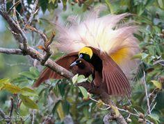 Birds of paradise5