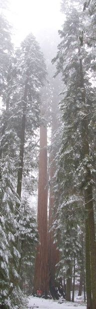 Snowy Redwoods in Northern Cal.