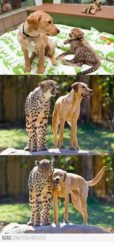 Aww. when I wet to san Diego park a cheetah had a doggy friend too . Supposedly it keeps them calm and able to trust humans bcuz they see the dog trusting humans