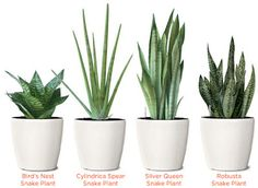 Snake Plants (Mother-in-Law's Tongue) do well in low-light environments, like to be pot-bound, and are difficult to kill. Planters from Crate & Barrel
