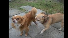 Help Save Two Abandoned Chihuahuas from SC Gizmo and Taco were abandoned by their disabled owner in rural South Carolina. These boys have never known anything other than an indoor life but they had never been to a vet. No vaccines, heartworm prevention or any other medical care. Had they ...