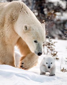 a polar bear! Wildlife photographer David Jenkins captures the tender moments between a mother polar bear and her three cubs in Wapusk National Park, Canada as they leave their den for the first time. Bear Photos, Bear Pictures, Cute Animal Pictures, Funny Pictures, Cute Baby Animals, Animals And Pets, Exotic Animals, Unusual Animals, Majestic Animals