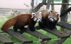 Ying e Yang, dois filhotes da espécie panda-vermelho brincam em passarela no jardim zoológico de Cerza, em Hermival-les-Vaux, na França.