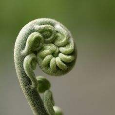 tender spiral Nature you are amazingly beautiful Shades Of Green, Green And Grey, Green Sage, Photographie Macro Nature, Fern Frond, Fern Gully, Spirals In Nature, Dame Nature, Seed Pods