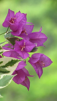 Shade Garden Flowers And Decor Ideas Bougainvillea All Flowers, Exotic Flowers, Amazing Flowers, Purple Flowers, Beautiful Flowers, Flowers Online, Bougainvillea, Dame Nature, Belle Photo