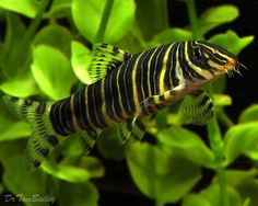 Aquarium Fish, Tropical Fish, and Goldfish for Sale Online Best Aquarium Fish, Betta Aquarium, Aquarium Setup, Tropical Aquarium, Freshwater Aquarium Fish, Tropical Fish, Aquarium Ideas, Betta Tank, Pez Botia