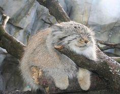A Tibetan Pallas cat chilling on a branch