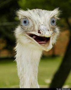 Très belle autruche aux yeux bleus - Beautiful blue-eyed ostrich