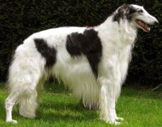 Borzoi Dog Info, Mixes, Temperament, Training, Puppies, Pictures Huge Dogs, I Love Dogs, Borzoi Dog, Whippets, Wolfhound Dog, Russian Wolfhound, Dog Agility, Mans Best Friend, Best Dogs