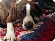 Elizabethtown, PA - Boston Terrier/Beagle Mix. Meet Buster a Dog for Adoption.