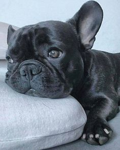 French Bulldog ❤️