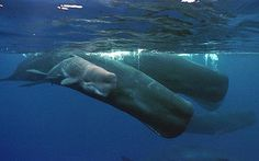 A sperm whale calf only hours old, swims next to its mother and a pod of sperm whales: Sperm whales use babysitters for young