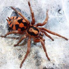 Pumpkin Patch Tarantula (Hapalopus sp Colombia)