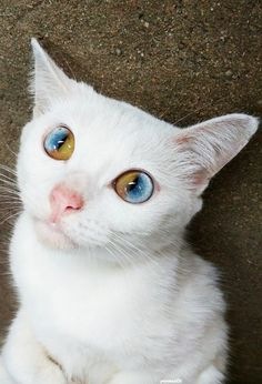 cat ♥  In sectoral heterochromia iridis, part of one iris is a different color from its remainder