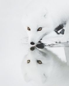 Iceland Photos You Won't Believe Are From This Planet Arctic Fox, Iceland by benjaminhardmanArctic Fox, Iceland by benjaminhardman Nature Animals, Animals And Pets, Cute Animals, Wild Animals, Funny Animals, Beautiful Creatures, Animals Beautiful, Animal Photography, Nature Photography