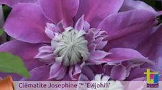 Clematite Josephine™ 'EviJohill'
