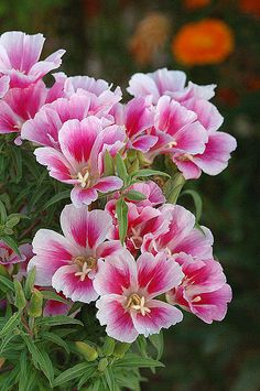Clarkia amoena is variously known as farewell-to-spring, satin flower, or godetia. A native of the western U.S., it's often grown for its pretty blooms.
