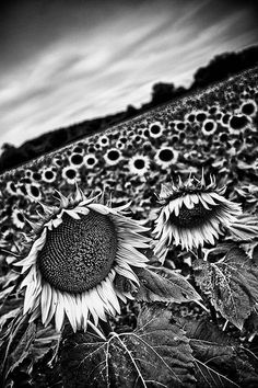 Sunflower (by alafourcade) Black Is Beautiful, Beautiful World, Beautiful Flowers, Beautiful Things, Sunflower Flower, Sunflower Fields, Love Photography, Black And White Photography, Jean Gabin