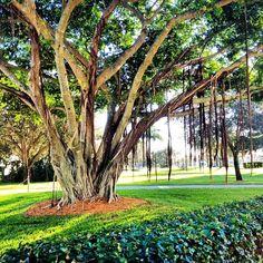 Can you feel the cool breeze @Lynn University ? #bocaraton #florida #tree #weather