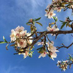 February almond blossom at L'Amandier Hotel in the Atlas Mountains of Morocco. #almondblossom #MoroccoGardens #LAmandierHotel [Photo: Michael Kopinski]
