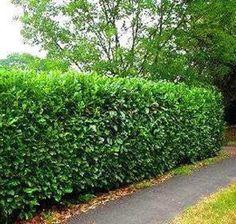 Grape Vine Plant, Grape Vines, Bush Garden, Garden Path, Hedges Landscaping, Beech Hedge, Laurel Hedge, Evergreen Bush