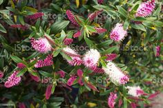 Beautiful Pink Hebe Bush in Flower Beautiful Pink Hebe Bush in Flower Close-Up. Abstract Stock Photo Flower Close Up, Photo Composition, Abstract Images, Flower Photos, Photo Illustration, Image Now, Royalty Free Images, Stock Photos, Flowers