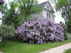 lilacs pictures | you look someone has a lilac tree or a lilac hedge, old lilacs ...