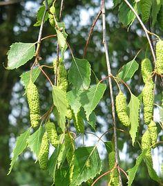közönséges nyír Birch Lane, Plant Leaves, Fa, Cottage, Plants, Silver, Cottages, Plant, Cabin