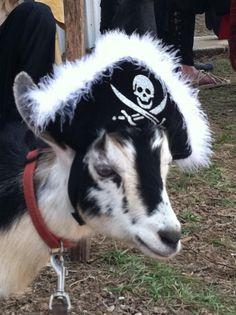 Nigerian Dwarf Goat Animals Pinterest Nigerian dwarf